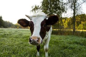 Gros plan de jeune vache