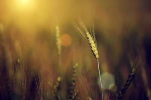 photo vintage de gros plan de blé