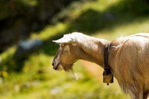 chèvre de montagne sur l'herbe verte photo