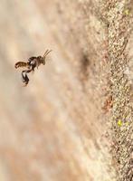 abeille sans dard vivant dans un trou métallique bouchent photo