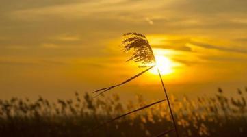 lever du soleil sur roseau dans un champ en hiver