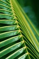 texture de fond de feuille de palmier photo