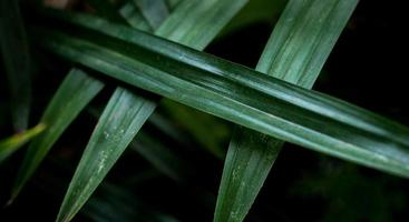 les feuilles de pandan sont vert vif. photo