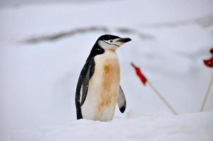 le pingouin à jugulaire photo