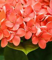 Bouquet d'ixora rouge, jasmin des Antilles, gros plan photo