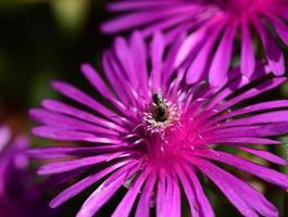 gros plan, fleur pourpre, iceplant, -, delosperma, cooperi