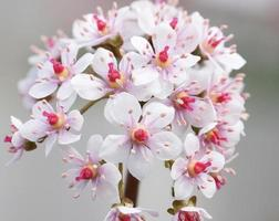rhubarbe indienne photo