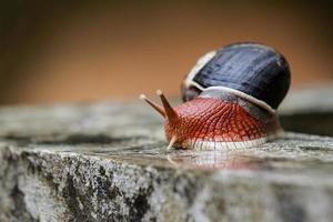 escargot rouge indien photo