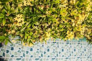fleurs ixora jaunes, jasmin des Antilles photo