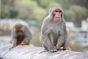 singes macaques indiens photo