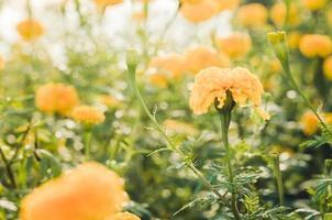 soucis ou tagetes erecta fleur vintage