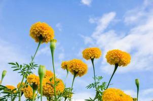 soucis ou tagetes erecta fleur
