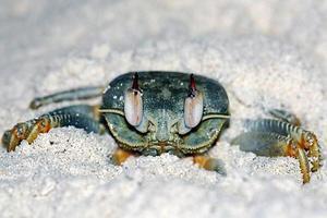 le crabe photo