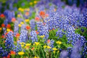 fleurs sauvages de la crête de l'héliotrope.