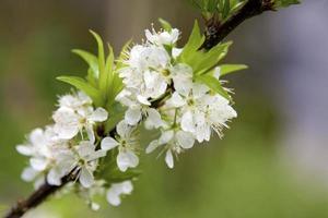 prune orientale photo