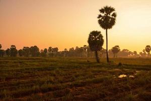 palmier à sucre et riz déposé au coucher du soleil photo