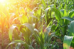 gros plan de champ de maïs au coucher du soleil photo