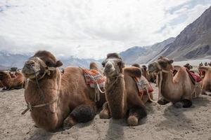 chameaux dans le désert photo