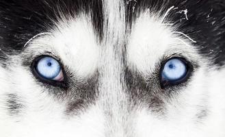 gros plan, de, chien husky, yeux bleus
