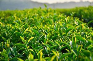 feuilles de plantation de thé
