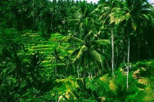 Terrasse de riz de tegalalang dans l'île de bali, indonésie