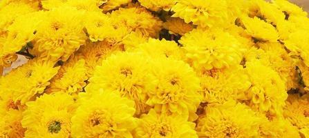 fond de fleur de chrysanthème jaune photo