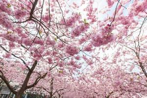 cerisiers en fleurs à stockholm à kungstradgarden, jardin du roi