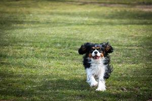 cavalier king charles spaniel en cours d'exécution
