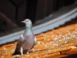gros plan, pigeon, toit photo