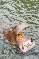 l'hippopotame reçoit de la nourriture