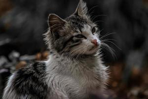 Chat extérieur domestique à l'extérieur dans un paysage d'automne