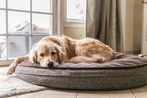 Golden retriever portant dans un lit pour chien