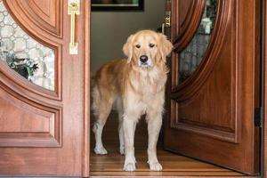 un golden retriever se tient dans une porte photo