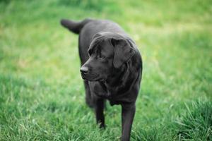 labrador retriever noir dans l'herbe