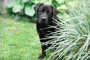 labrador retriever noir
