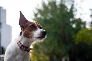 jack russell terrier en plein air