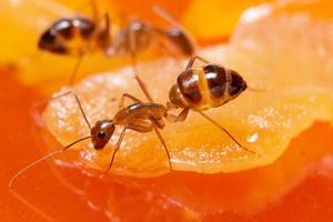 fourmis brunes macro