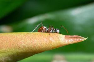 fourmi macro sur tige photo