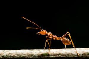fourmi rouge macro