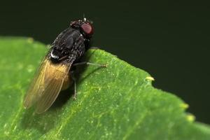 fermer sur la mouche des fruits au bord de la feuille photo