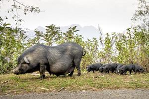 porcs à ventre vietnamien photo