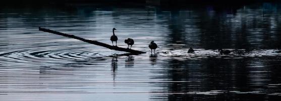 cygnes sur l'eau