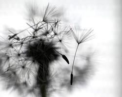 silhouette de pissenlit blanc