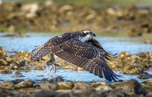 balbuzard pêcheur en vol