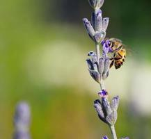 abeille sur lavande photo