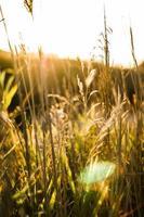 champ de blé avec des rayons de soleil