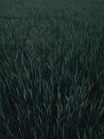 hautes herbes vertes photo