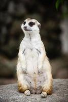 suricate regardant le monde passer photo