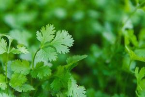 coriandre fraîche dans le jardin photo