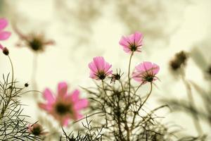 fleurs de cosmos rose